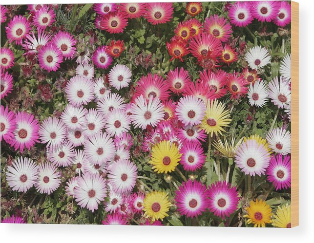 Flower Wood Print featuring the photograph Colors Of Spring by Masami Iida
