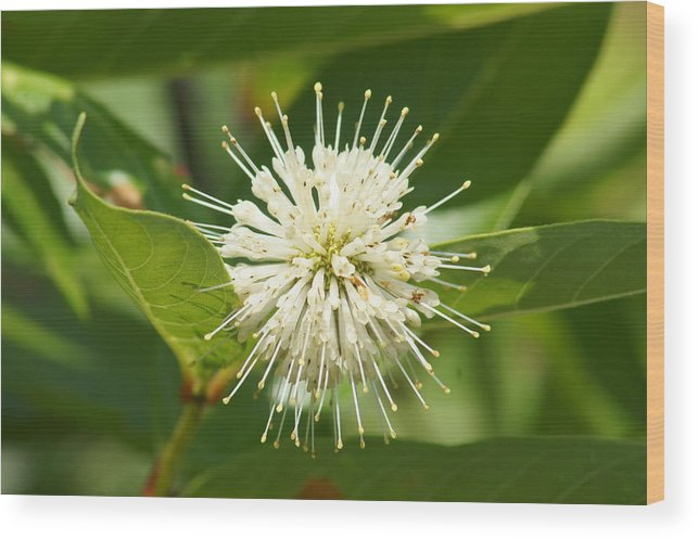 Common Buttonbush Wood Print featuring the photograph Common Buttonbush by Lynda Dawson-Youngclaus
