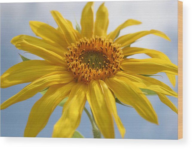 Sunflower Wood Print featuring the photograph Community by Sharon McCarthy