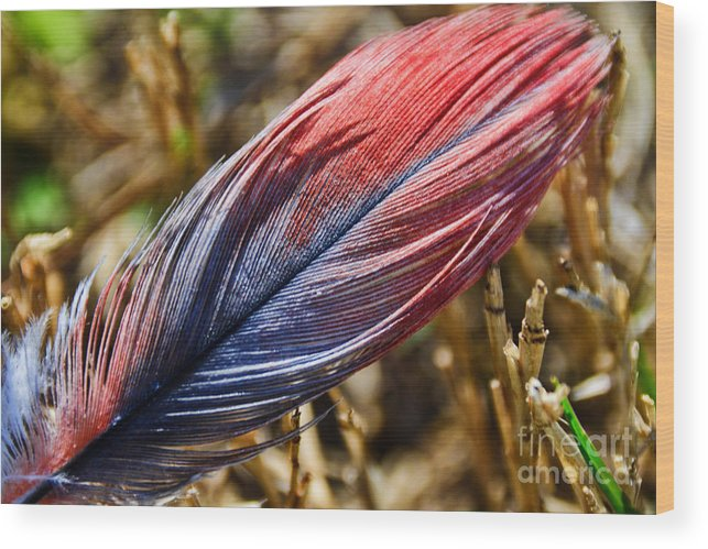 Adrian-deleon Wood Print featuring the photograph Congo African Grey Feather by Adrian DeLeon