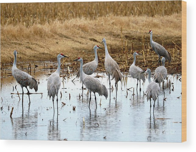 Sandhill Cranes Wood Print featuring the photograph Congregating Sandhill Cranes by Carol Groenen