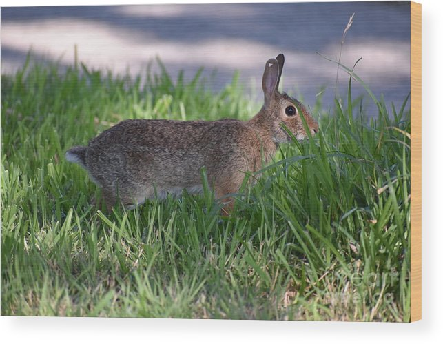 Rabbit Wood Print featuring the photograph Cottontail Rabbit In My Front Yard by Waterflower Designs