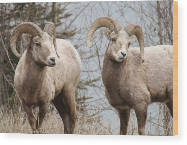 Bighorn Sheep Wood Print featuring the photograph Couple Of Rams- Banff National Park by Tiffany Vest