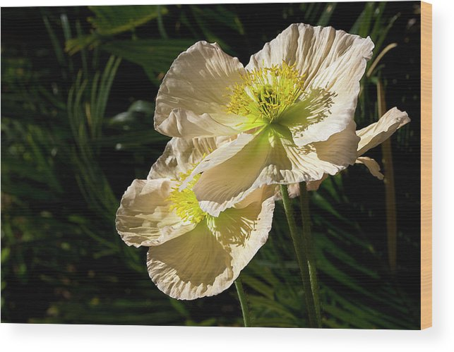 Flower Wood Print featuring the photograph Creamy Poppies by Phyllis Denton