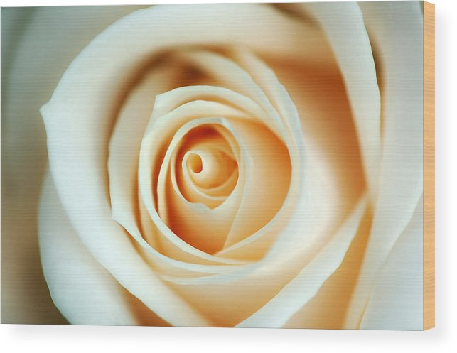 Creme Wood Print featuring the photograph Creme Rose by Mandy Wiltse