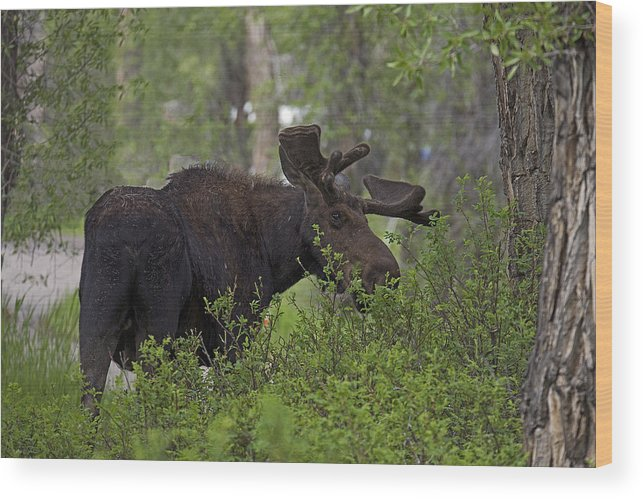 Moose Wood Print featuring the photograph Cross Moose by Eric Nelson