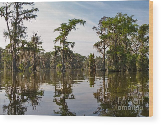 Swamp Wood Print featuring the photograph Cypress Trees And Spanish Moss In Lake Martin by Louise Heusinkveld