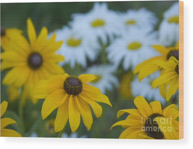Daisy Wood Print featuring the photograph Daisies by Idaho Scenic Images Linda Lantzy