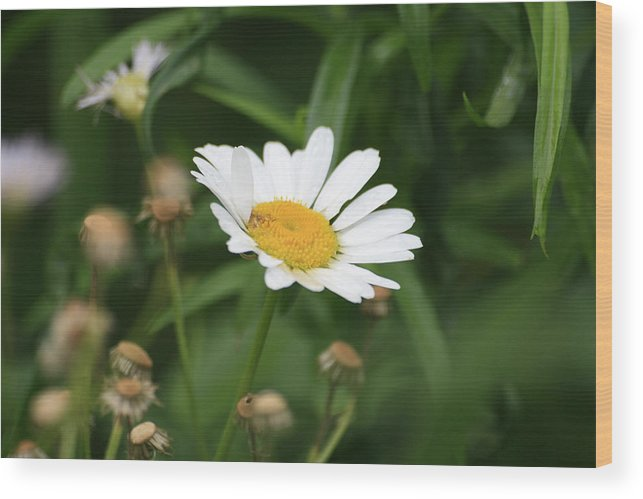 Wild Flowers Wood Print featuring the photograph Daisy One by Alan Rutherford