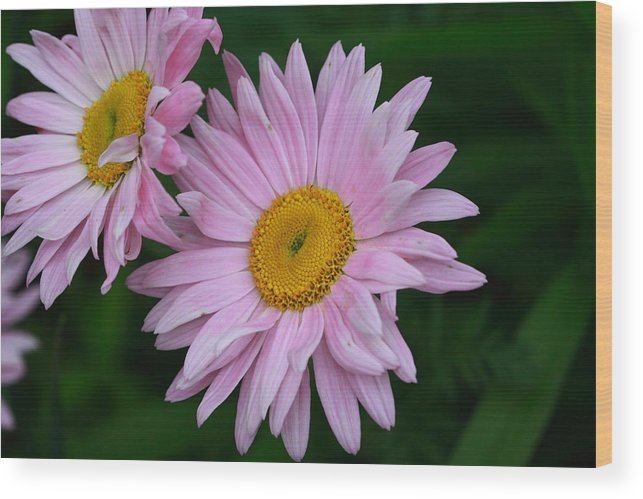 Flower Wood Print featuring the photograph Daisy Twins by Paul Slebodnick