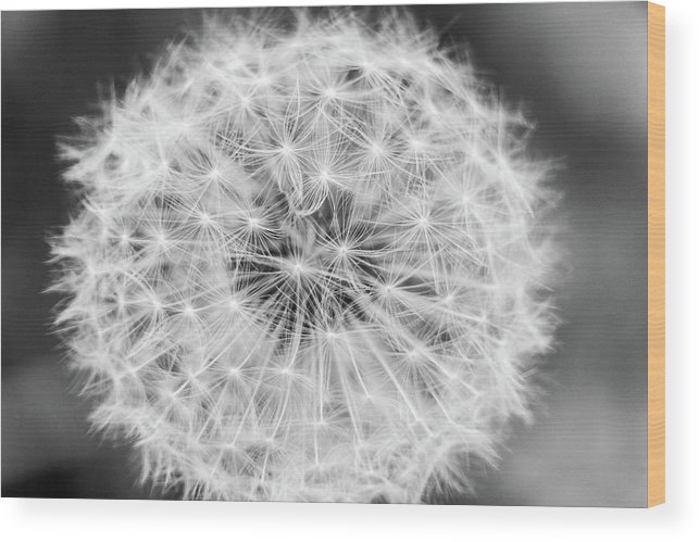 Flower Wood Print featuring the photograph Dandylion Black And White by Stefano Del Bianco