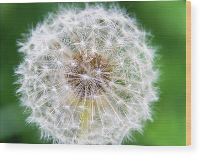 Flower Wood Print featuring the photograph Dandylion by Stefano Del Bianco