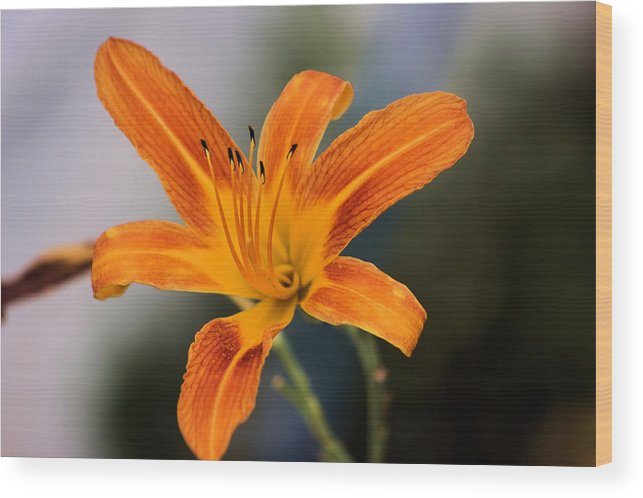 Montana Wood Print featuring the photograph Day Lily by Scott Carlton