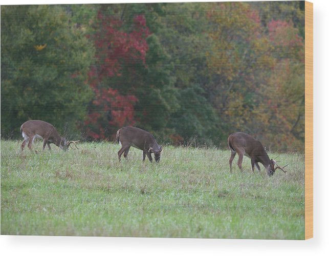 Deer Wood Print featuring the photograph Deer In The Fall by James Jones