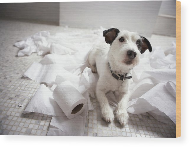 Horizontal Wood Print featuring the photograph Dog Lying On Bathroom Floor Amongst Shredded Lavatory Paper by Chris Amaral