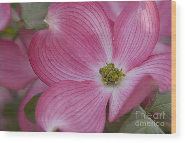Dogwood Wood Print featuring the photograph Dogwood Bloom by Idaho Scenic Images Linda Lantzy