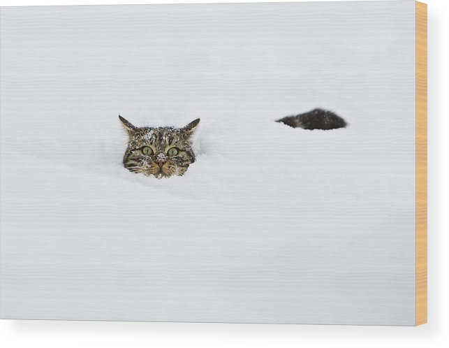 Mp Wood Print featuring the photograph Domestic Cat Felis Catus In Deep Snow by Konrad Wothe