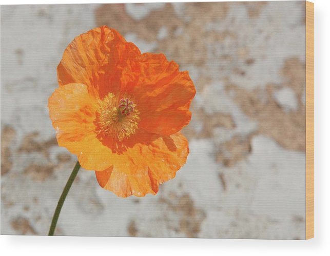 Doorway Poppy Wood Print featuring the photograph Doorway Poppy by Martina Fagan