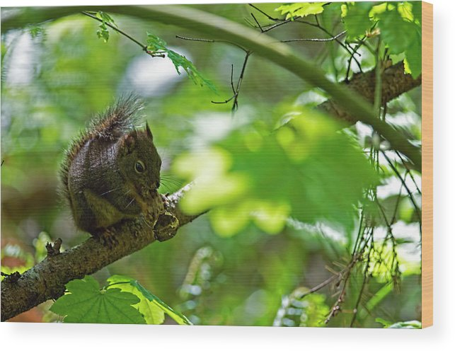 Douglas Squirrel Wood Print featuring the photograph Douglas Squirrel Drops Nut by Sharon Talson