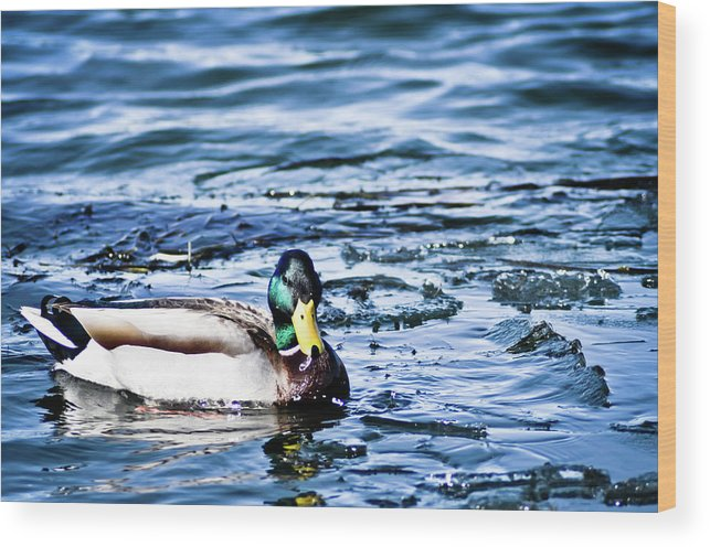 Duck Wood Print featuring the photograph Duck by Brenton Woodruff