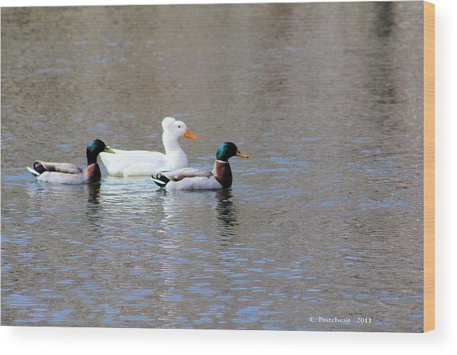 Ducks Wood Print featuring the photograph Ducks On Pond by Carolyn Postelwait