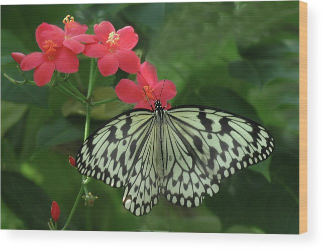 Butterfly Wood Print featuring the photograph Durham Butterfly #5 by Jerry Griffin