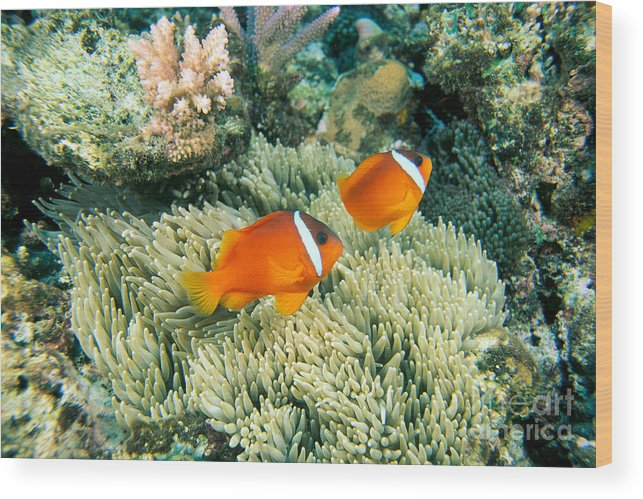 Amphiprion Wood Print featuring the photograph Dusky Clownfish by Dave Fleetham - Printscapes