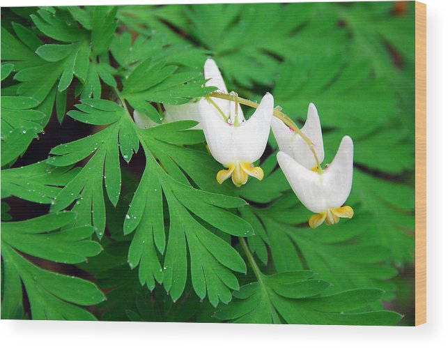 Dutchman's Breeches Wood Print featuring the photograph Dutchman's Breeches by Alan Lenk