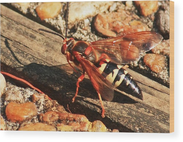 Eastern Wood Print featuring the photograph Eastern Cicada Killer Wasp by Terri Mills