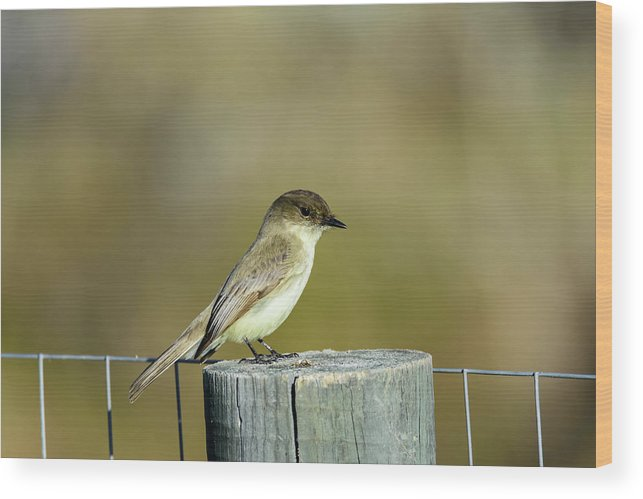 Avian Wood Print featuring the photograph Eastern Phoebe At Falcon State Park Of Texas by Debra Martz