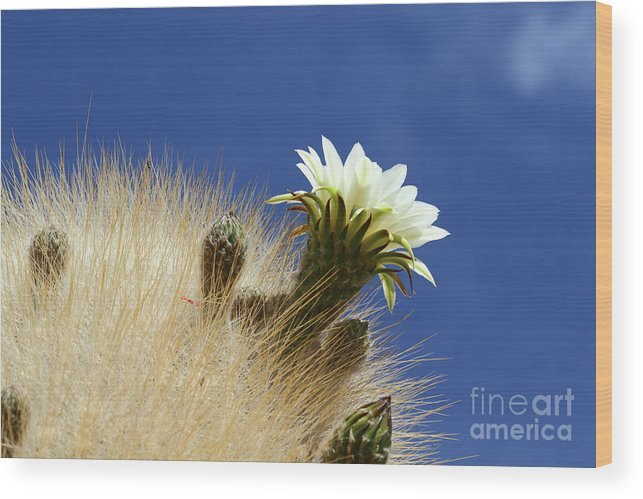 Flower Wood Print featuring the photograph Echinopsis Atacamensis Cactus Flower Bolivia by James Brunker