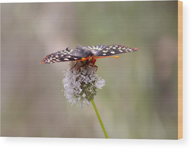 T50yp Wood Print featuring the photograph Edith's Checkerspot Four by Nicholas Miller