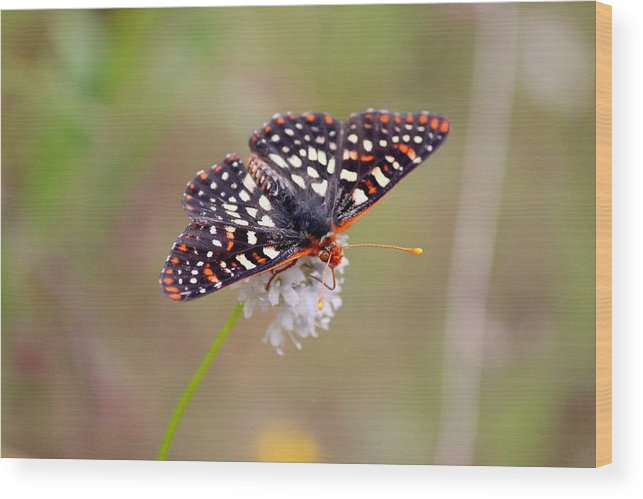 T50yp Wood Print featuring the photograph Edith's Checkerspot Three by Nicholas Miller