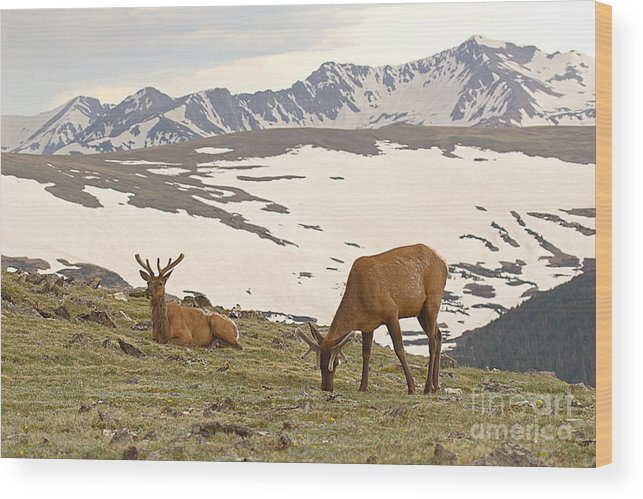 Elk Wood Print featuring the photograph Elk Bulls In The Highlands Of Colorado by Max Allen