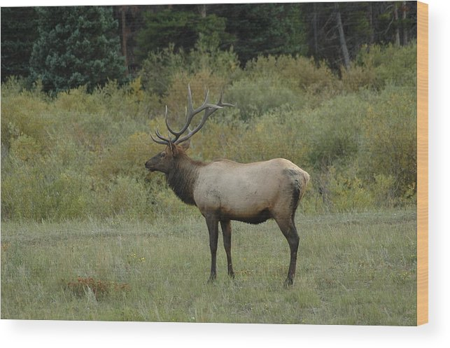Elk Wood Print featuring the photograph Elk by Kathy Schumann
