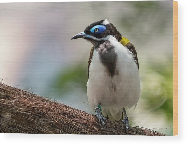 Blue-faced Honeyeater Wood Print featuring the photograph Eye See Blue by Melissa Sniderhan