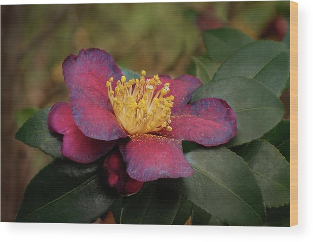 Isabela Cocoli Wood Print featuring the photograph Fading Camellia by Isabela and Skender Cocoli