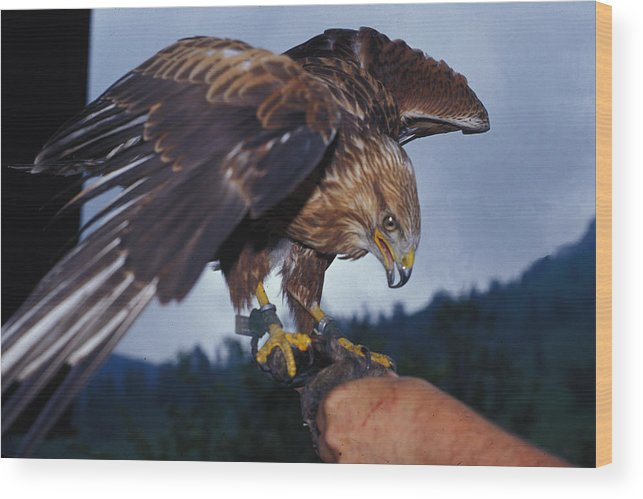 Bird Wood Print featuring the photograph Falcon by Carl Purcell