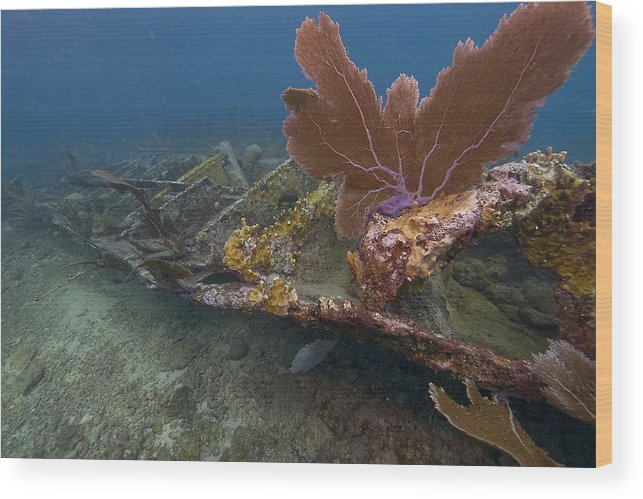 Coral; Atlantic Ocean; City Of Washington; Elbow Reef; Florida; Key Largo; Scuba Diving; Underwater Wood Print featuring the photograph Fan Coral On Elbow Reef In Key Largo by Bob Hahn