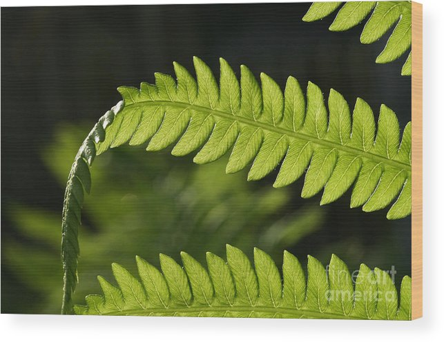 Garden Photo Wood Print featuring the photograph Fern by Steve Augustin
