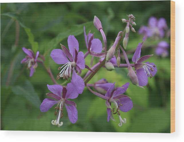Flowers Wood Print featuring the photograph Fidos P Line by Alan Rutherford