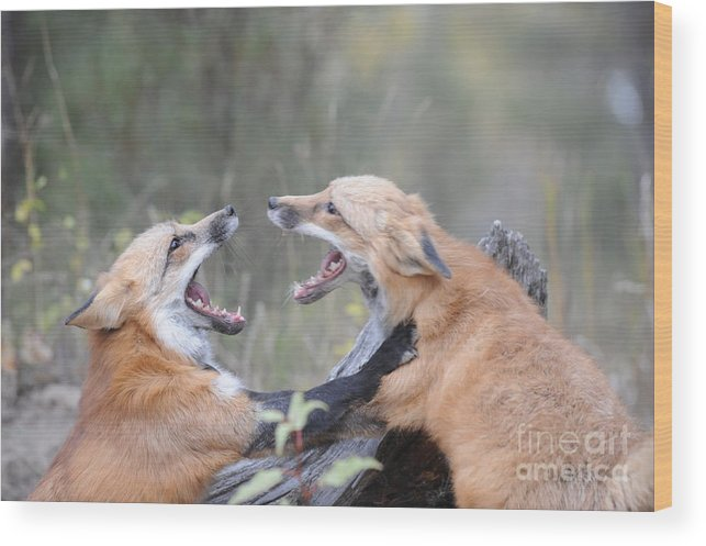 Red Tailed Fox Wood Print featuring the photograph Fight For Dominance by Dennis Hammer