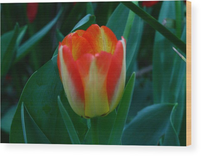 Botanical Wood Print featuring the photograph Fire Tulip by David Houston