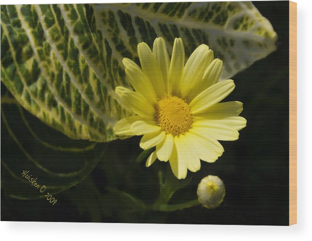 Daisy Wood Print featuring the photograph Floating Daisy by Lyle Huisken