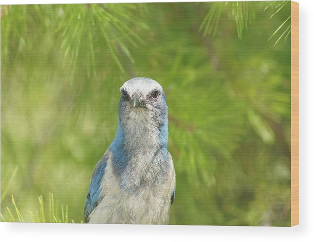 Florida Scrub Jay Wood Print featuring the photograph Florida Scrub Jay In Pine by Lynda Dawson-Youngclaus