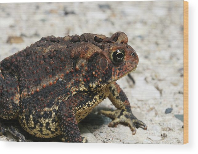 Toad Wood Print featuring the photograph Fowler's Toad #2 by Judy Whitton