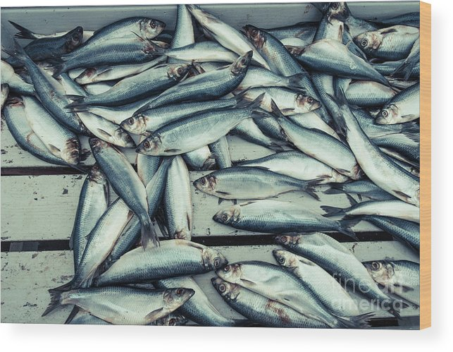Iceland Wood Print featuring the photograph Fresh Caught Herring Fish by Edward Fielding