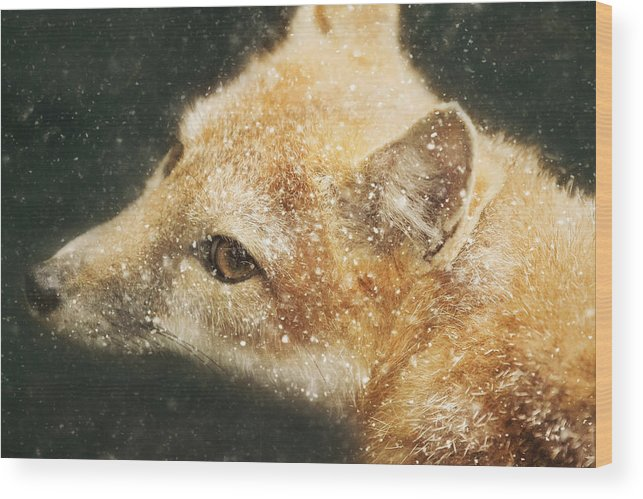 Frozen Fox Wood Print featuring the photograph Frozen Fox by Carrie Ann Grippo-Pike