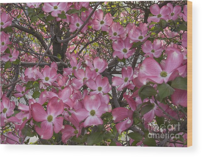 Dogwood Wood Print featuring the photograph Full Bloom by Idaho Scenic Images Linda Lantzy