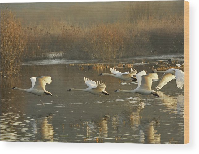 Trumpeter Swans Wood Print featuring the photograph Full Speed Ahead by Diane Smith